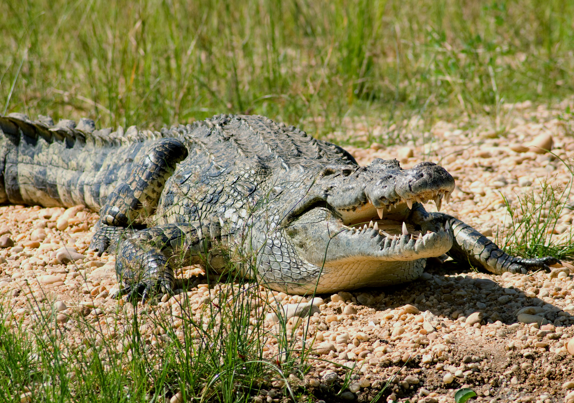 Crocodil, Foto: animalbox.ru