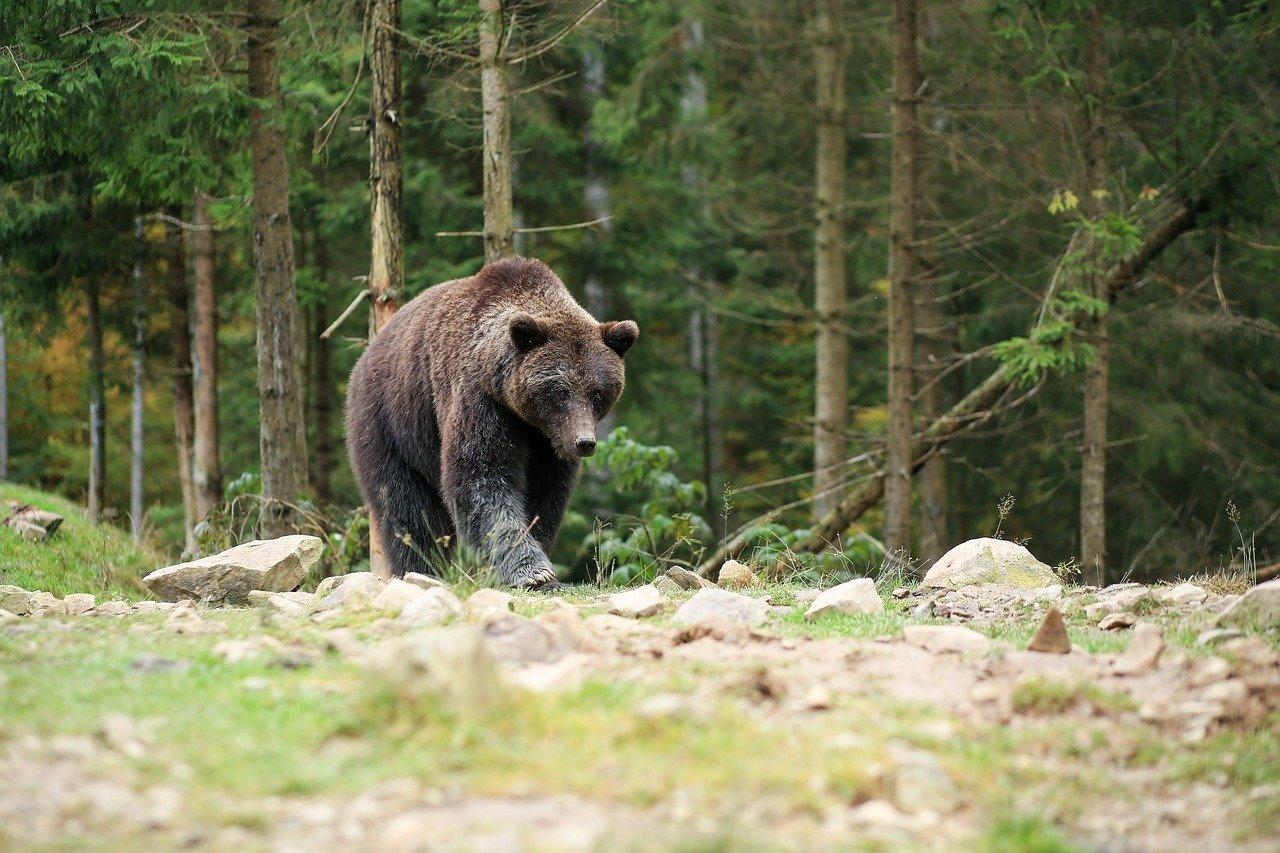 ursul de grăsime ajută dacă