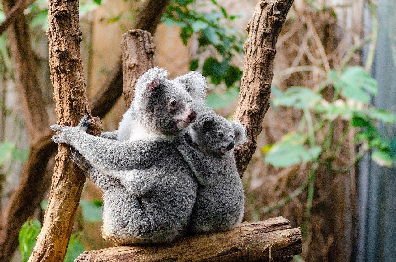 koala cu pui