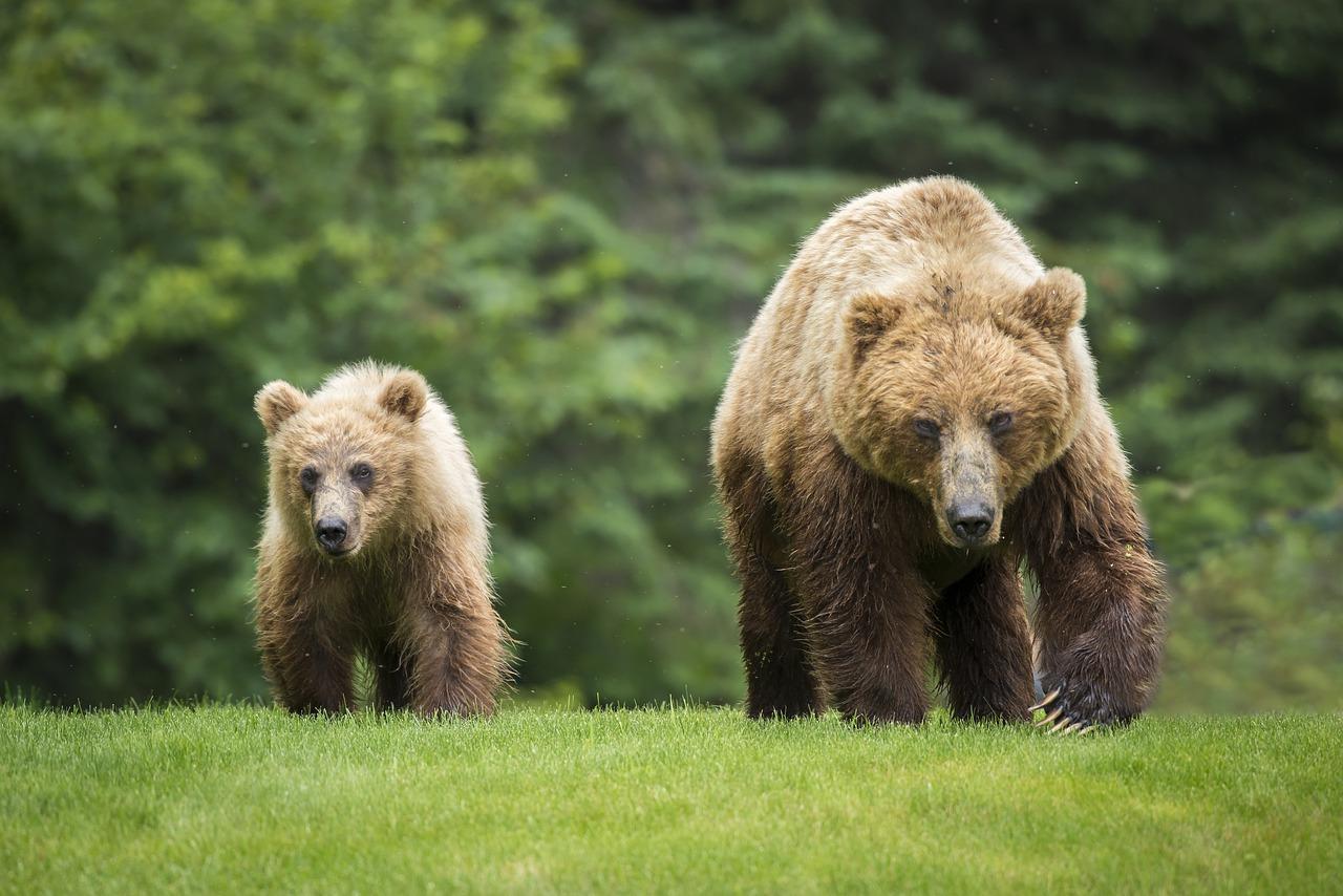Ursul de grăsime - proprietăți medicinale și contraindicații - Profilaxie