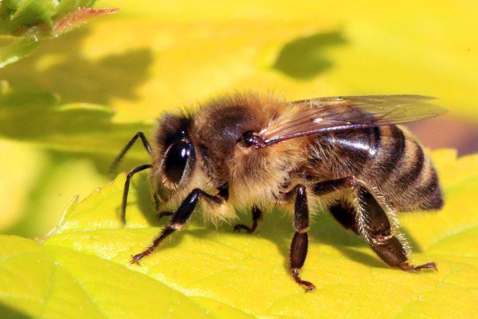 albina intepă din vedere