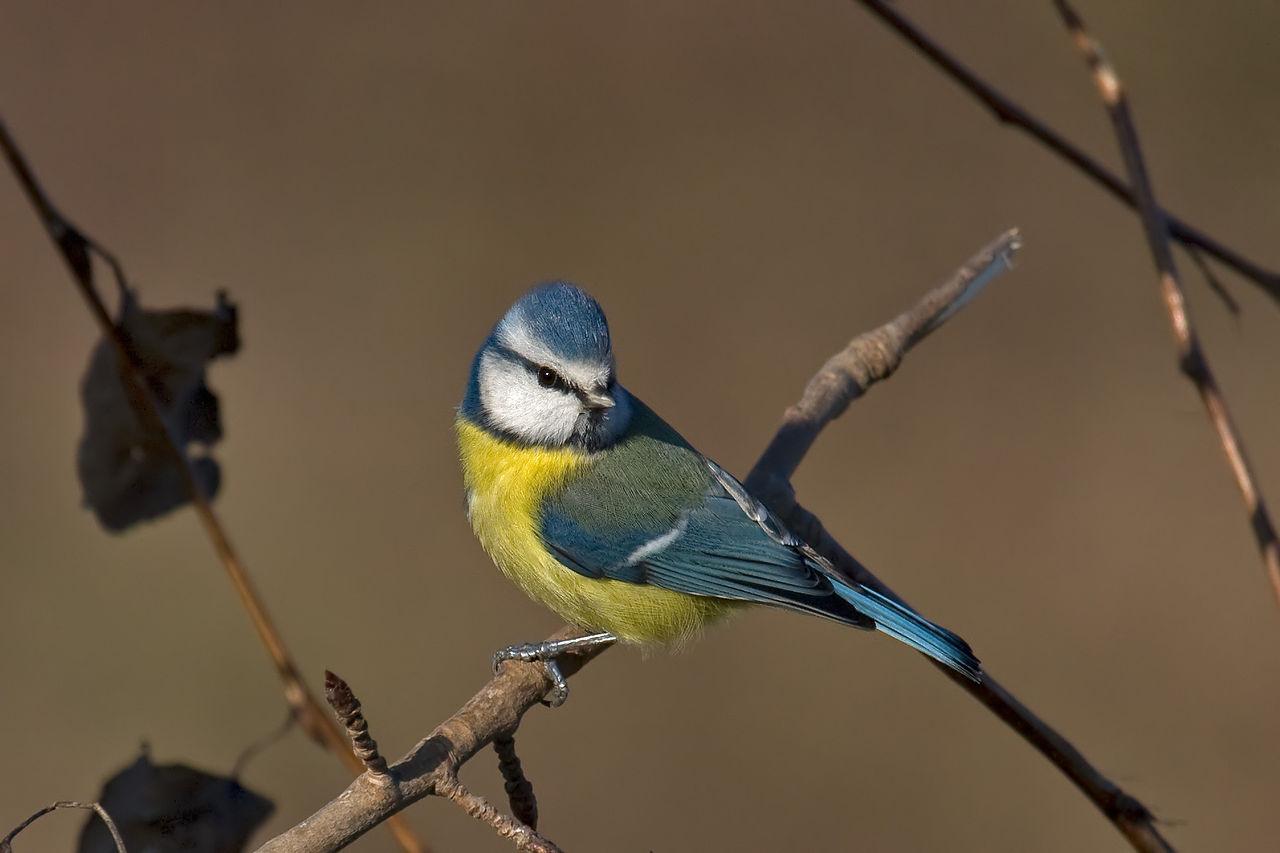 pitigoi albastru