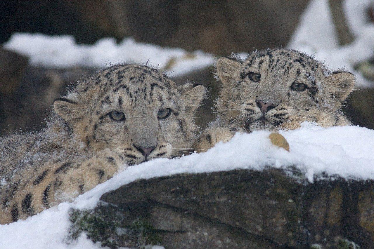 leoparzi