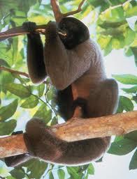 Maimuta lanoasa cenusie