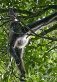 Maimuta paianjen cu maini negre