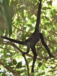 Maimuta paianjen cu par lung
