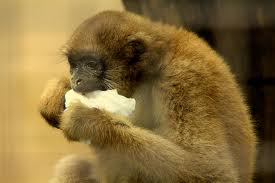 Maimuta-paianjen-lanoasa.jpg