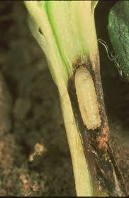 Musca verzei (Chortophila brassicae) - Larva