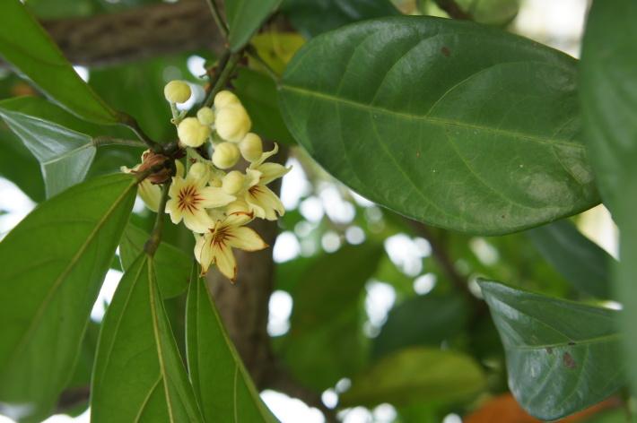 Floare de Cola Nitida, Foto: commons.wikimedia.org