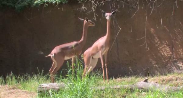 Gazela girafa – Gerenuk