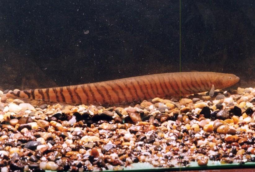 Gymnotus carapo, Foto: riomomon.com