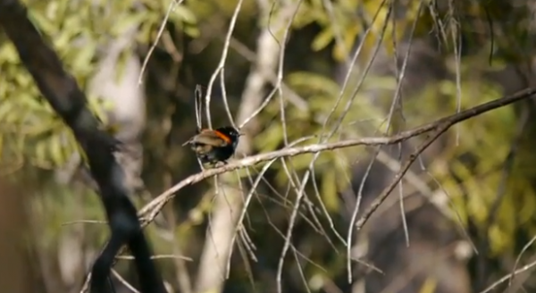 Pitulicea cu spatele rosu (Malurus melanocephalus)