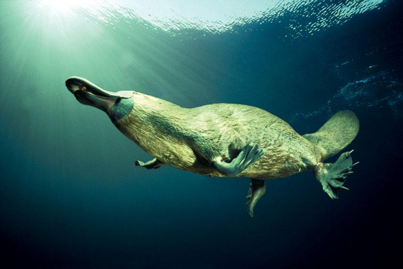 Ornithorhynchus anatinus, Foto: australiantraveller.com
