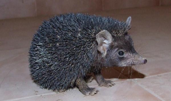 Ariciul indian (Paraechinus micropus), Foto: bvsnap.blogspot.ro
