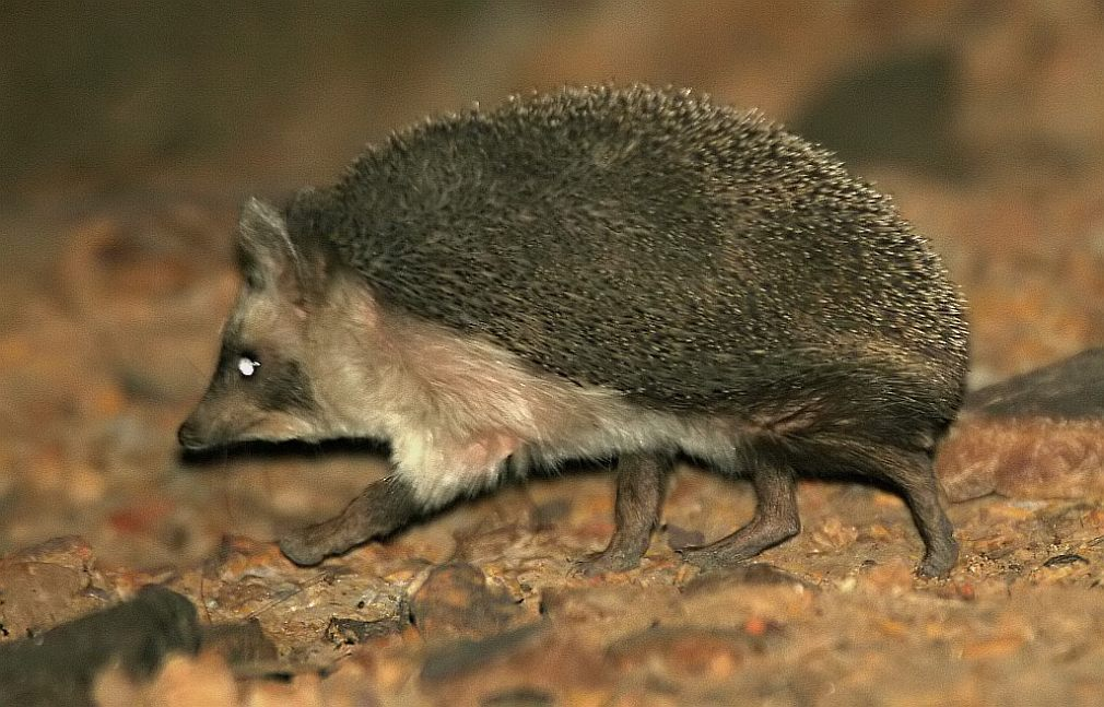 Paraechinus micropus, Foto: diertjevandedag.classy.be