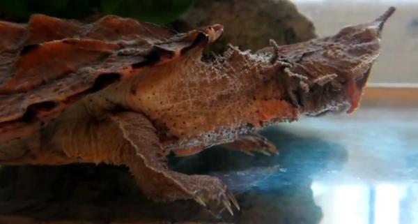 Matamata (Chelus fimbriatus)