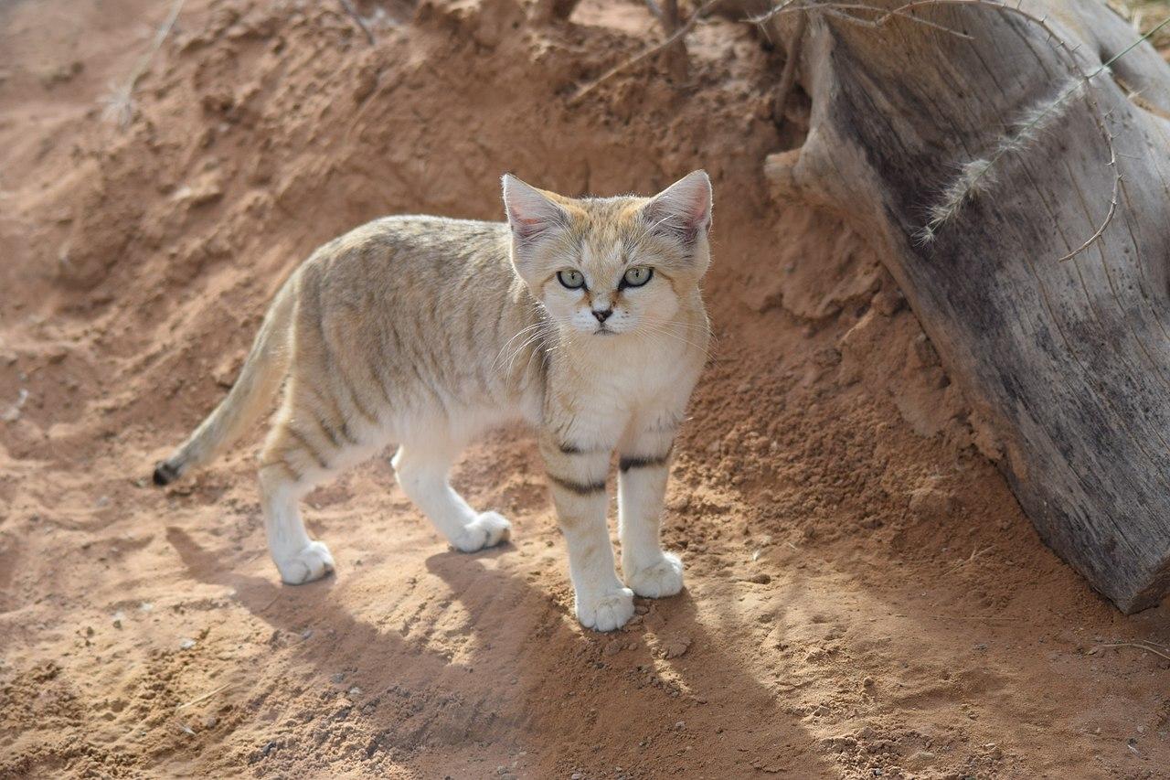 pisic de nisip