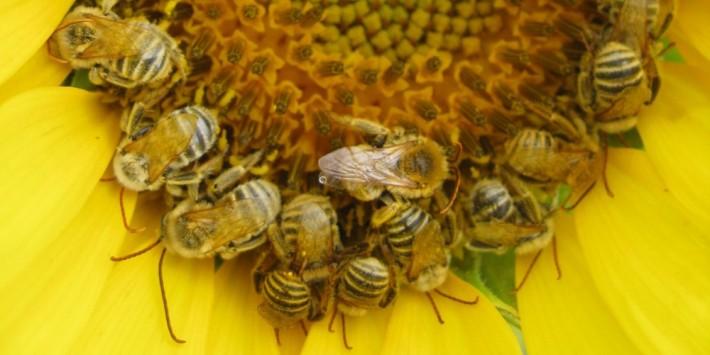 Albine polenizand Floarea Soarelui, Foto: nativebeeresearch.wordpress.com