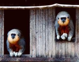 Maimuta titi intunecata