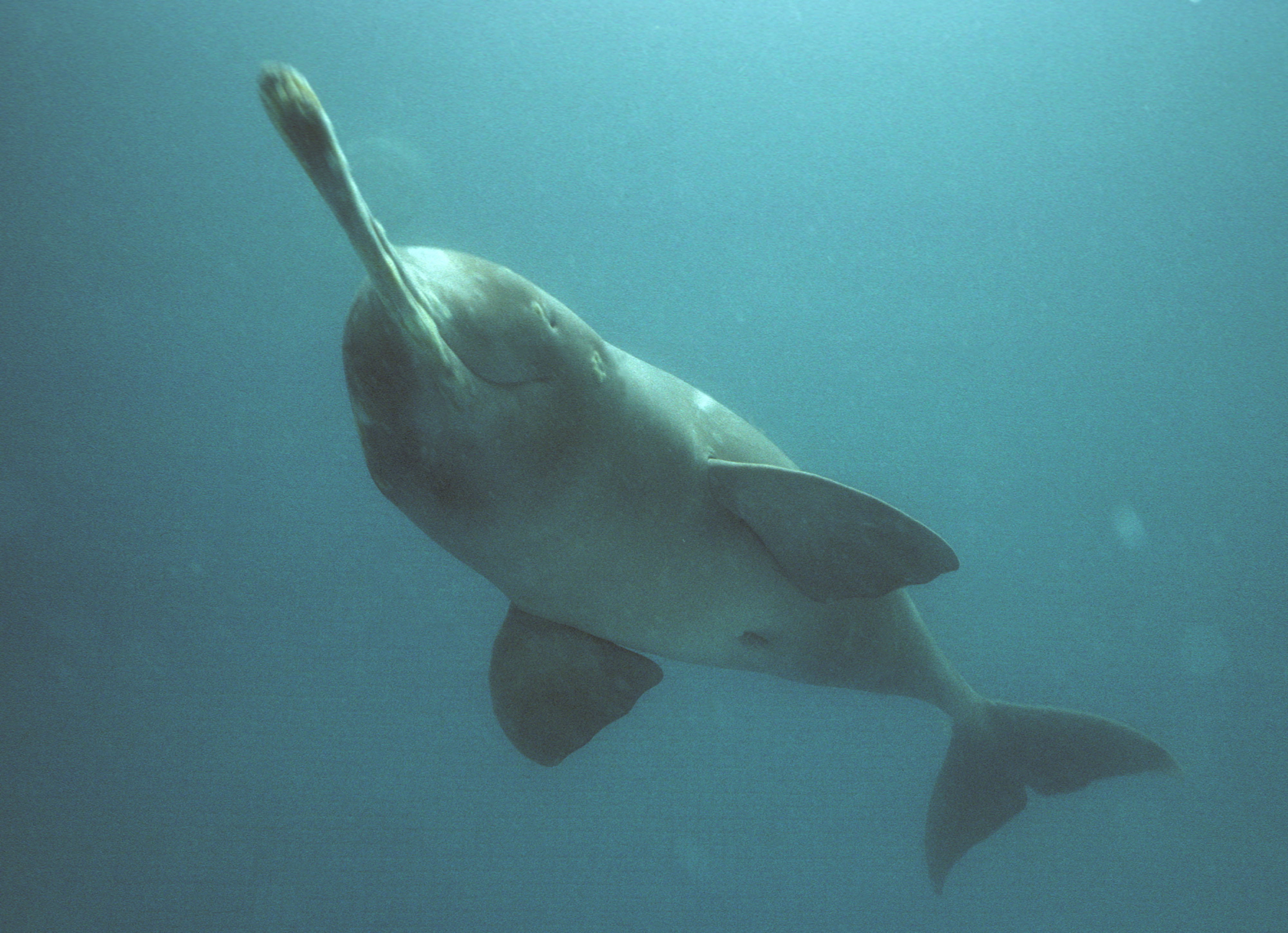 Freshwater dolphins, Foto: nmcg.nic.in