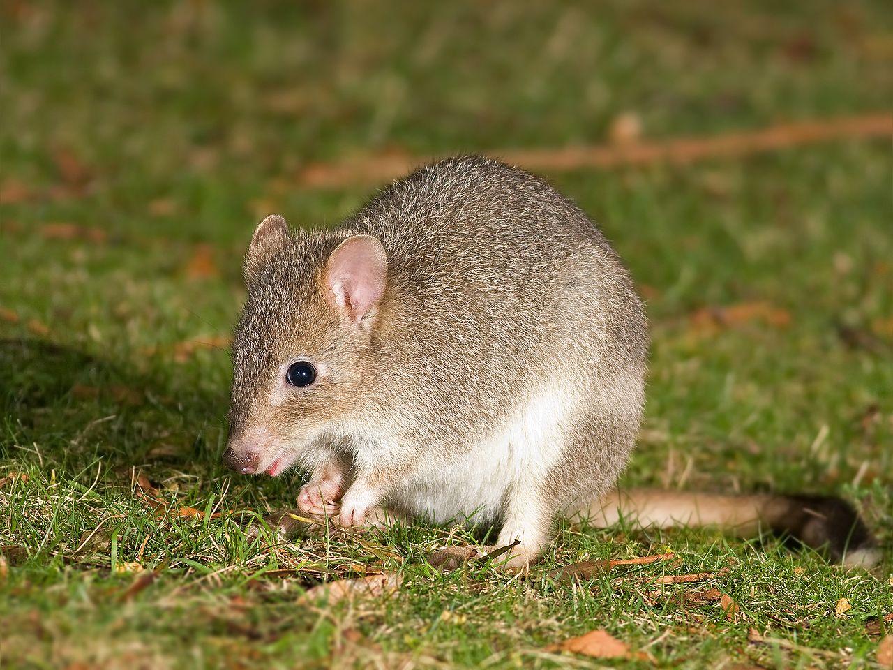 Potorous longipes, Foto: citynews.com.au