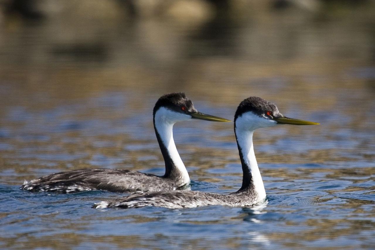 Aechmophorus occidentalis, Foto: watervogelbond.nl