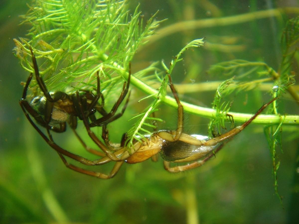 Argyroneta Aquatica, Foto: thisisego.com
