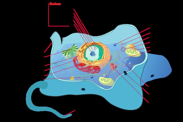 Celula tipica animala, Foto: en.wikipedia.org/wiki/Cell_(biology)#mediaviewer/File:Animal_cell_structure_en.svg