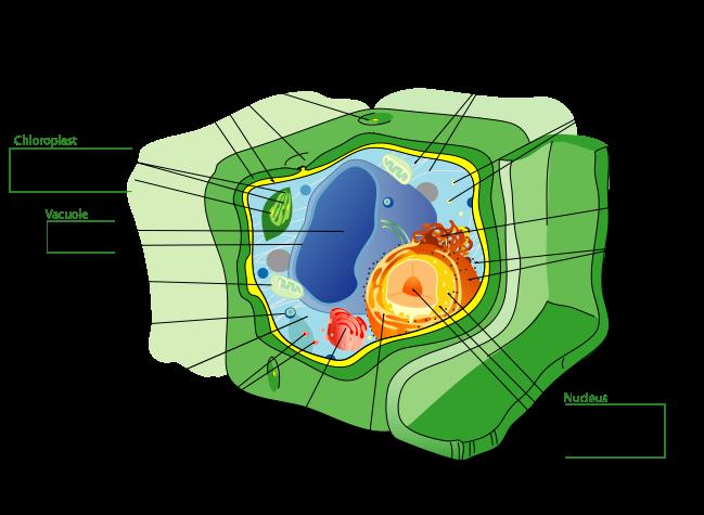 Celula tipica vegetala, Foto: en.wikipedia.org/wiki/Cell_(biology)#mediaviewer/File:Plant_cell_structure_svg.svg