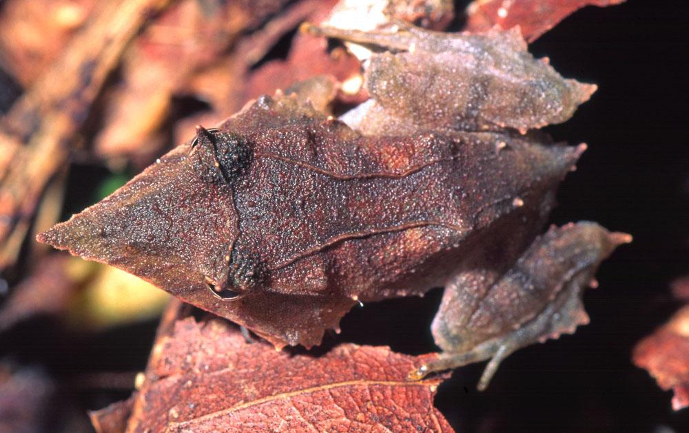 Ceratobatrachus guentheri, Foto: ryanphotographic.com