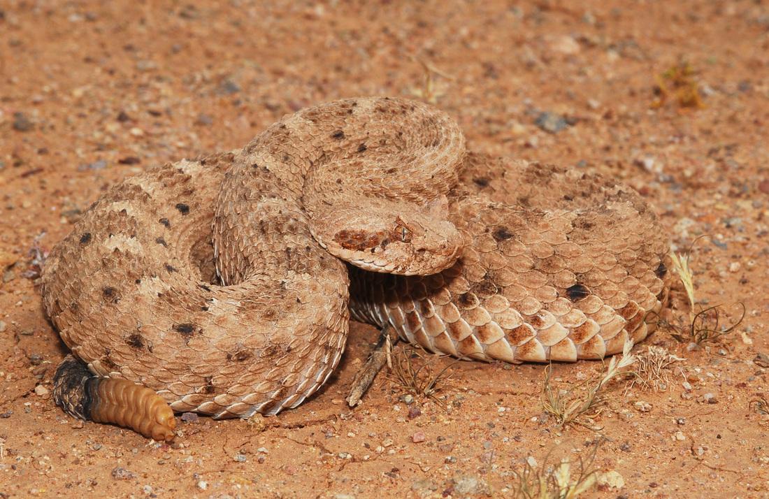 Crotalus cerastes, Foto: michaelrayspencer.com