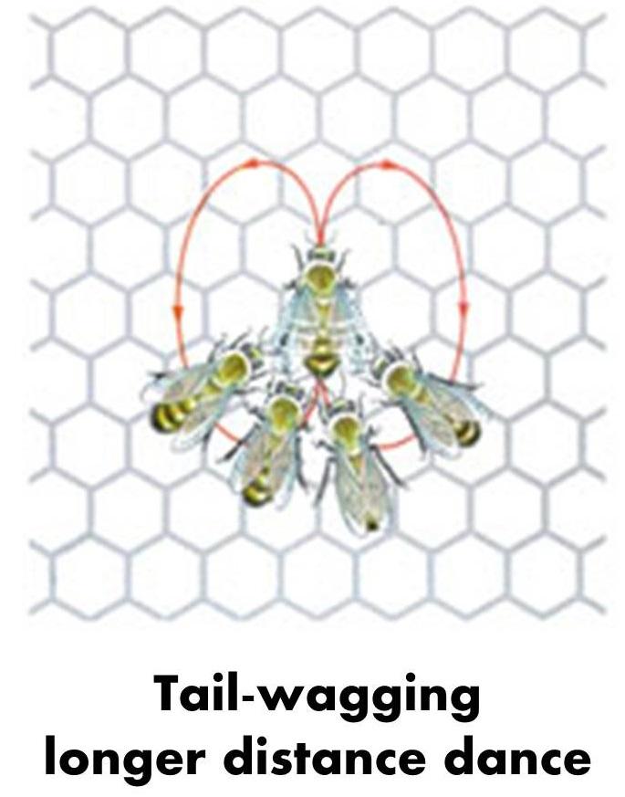 Dansul albinelor, Foto: throughthevortex.org