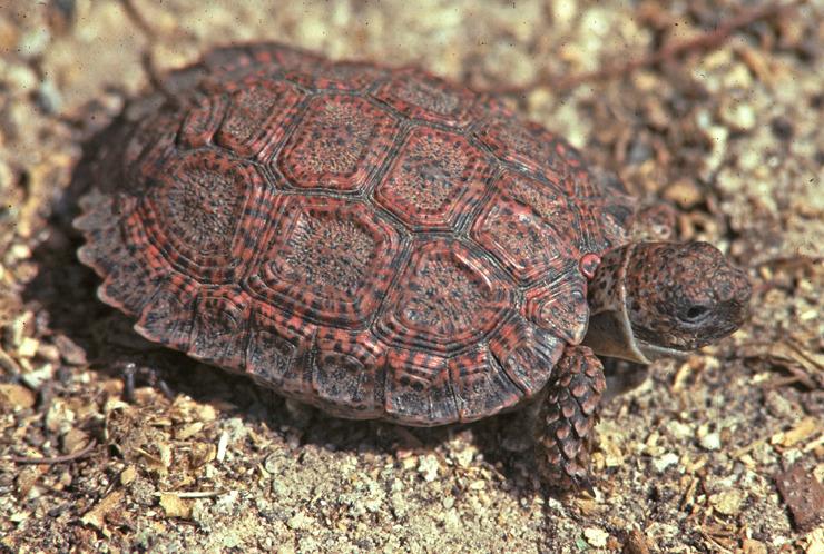 Homopus signatus, Foto: inaturalist.org