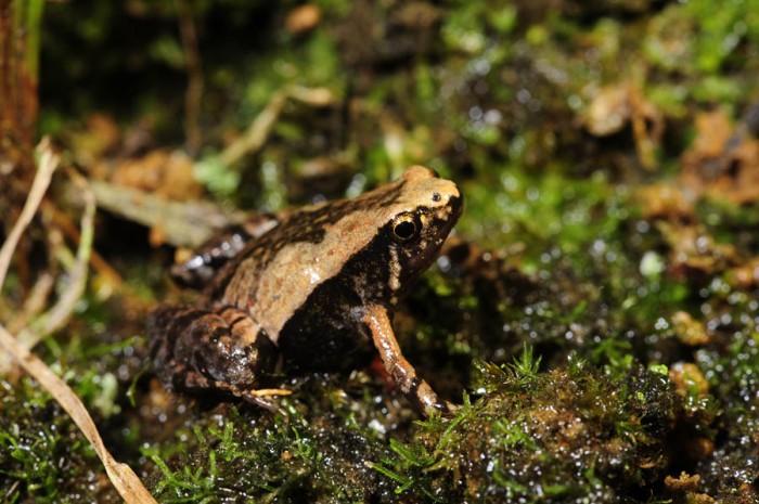Microhyla ornata, Foto: fototrapp.de