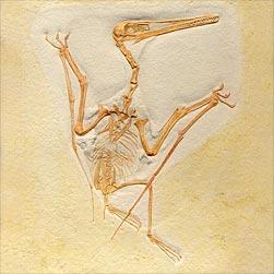 Pterodactylus - Schelet
