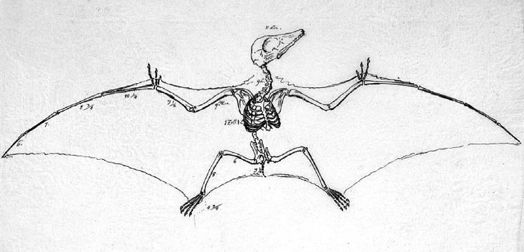 Pterodactylus, Foto: megachiroptera.net