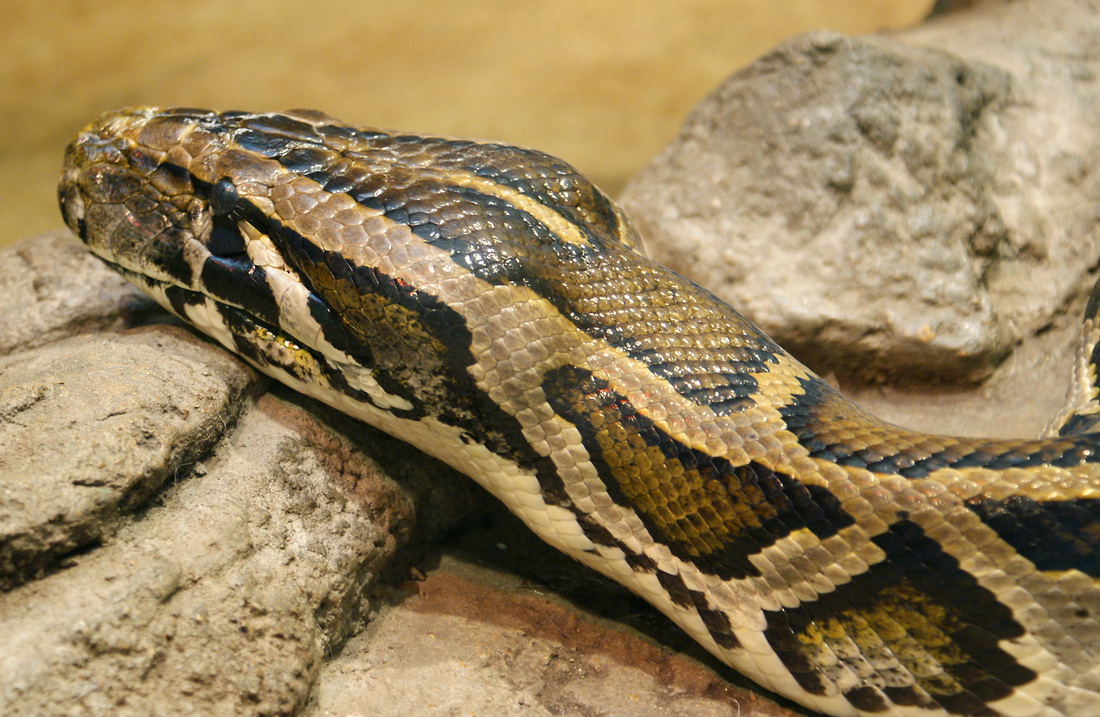 Python molurus, Foto: repti-film.weebly.com