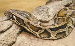 Sarpele-tigru (Python molurus)