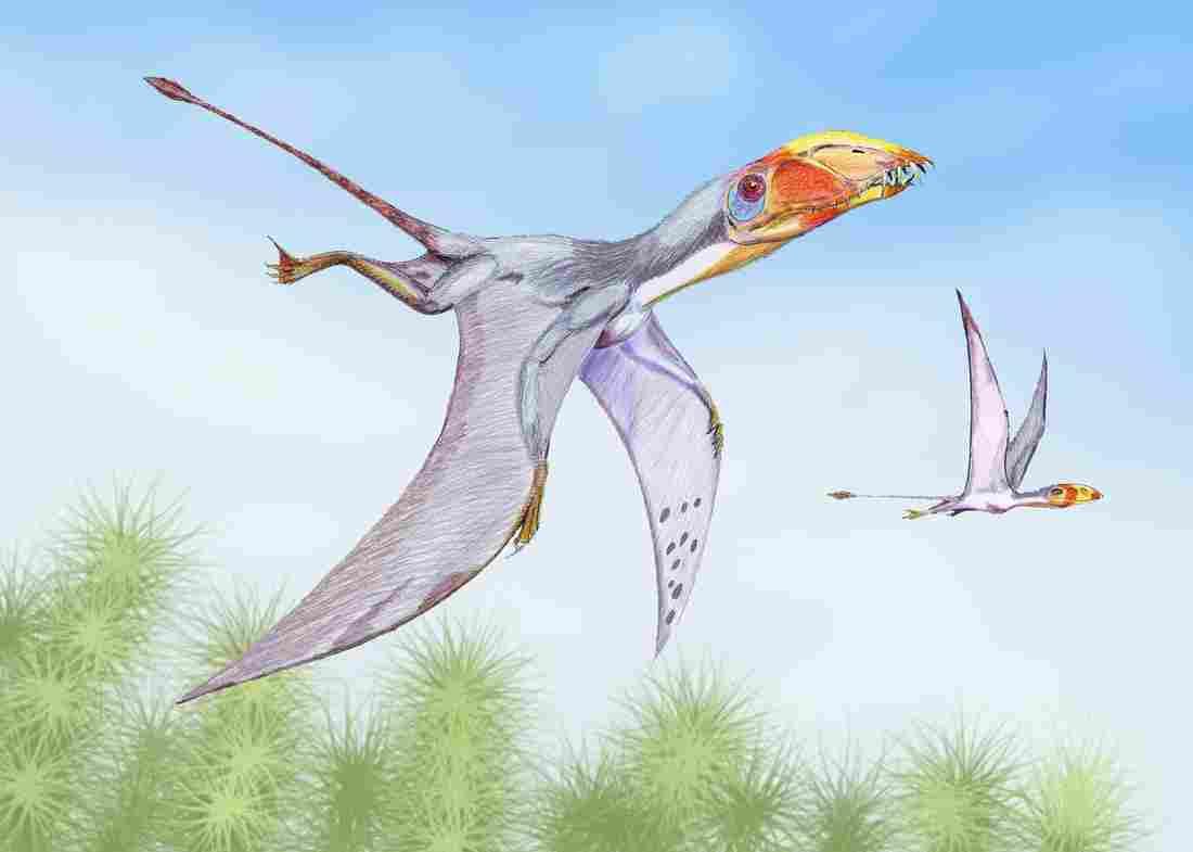Dimorphodon macronyx, Foto: npr.org