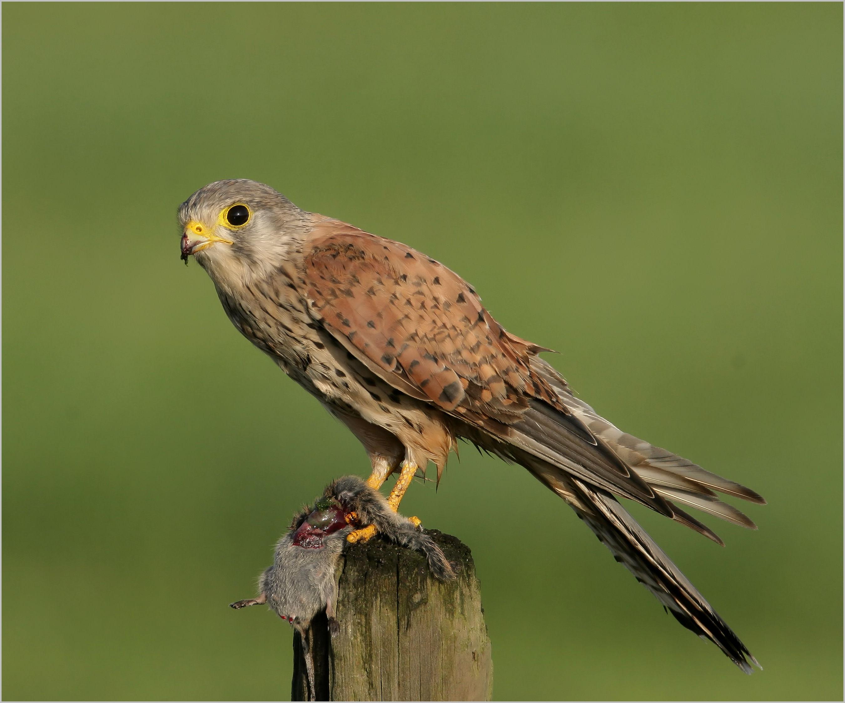 Falco tinnunculus, Foto: resimsitesi.com