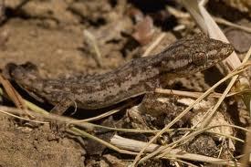 Gecko de casa comun (Hemidactylus frenatus)