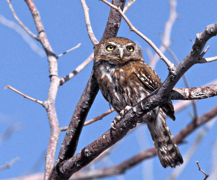 Glaucidium perlatum, Foto: owlpages.com