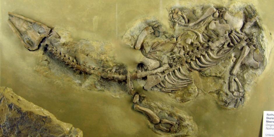 Nothosaurus, Foto: forskning.no