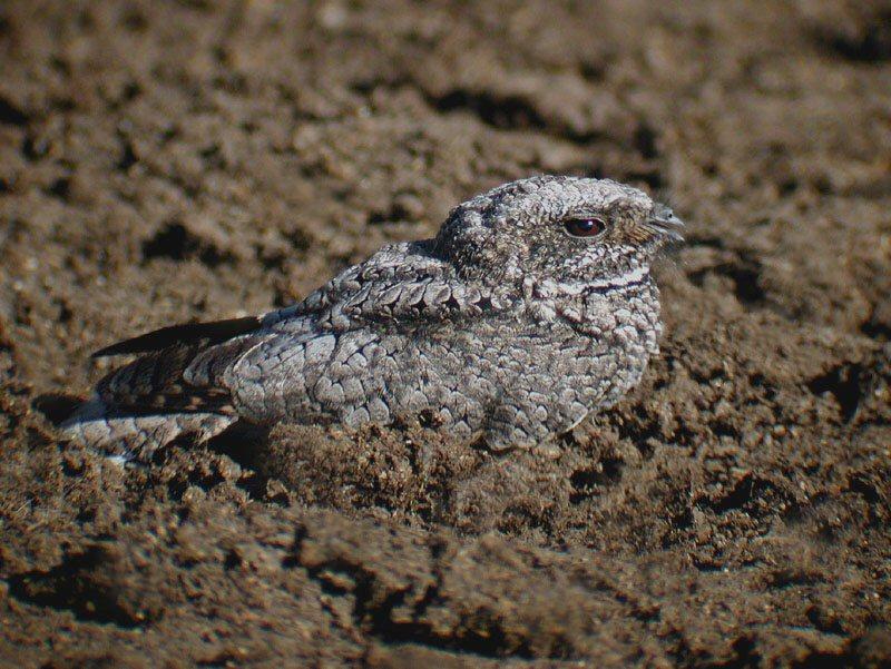 Phalaenoptilus nuttallii, Foto: mangoverde.com