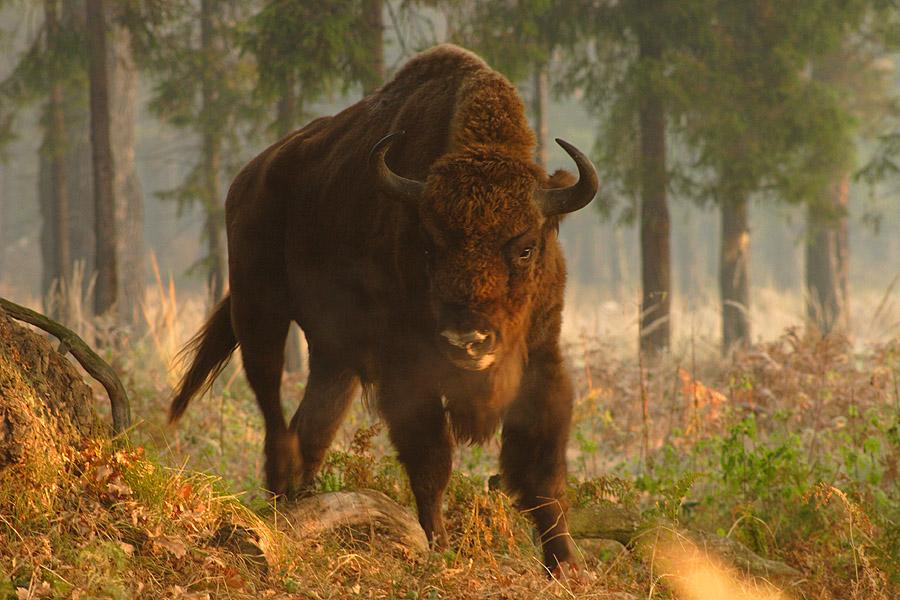 Bison bonasus, Foto: geocaching.com
