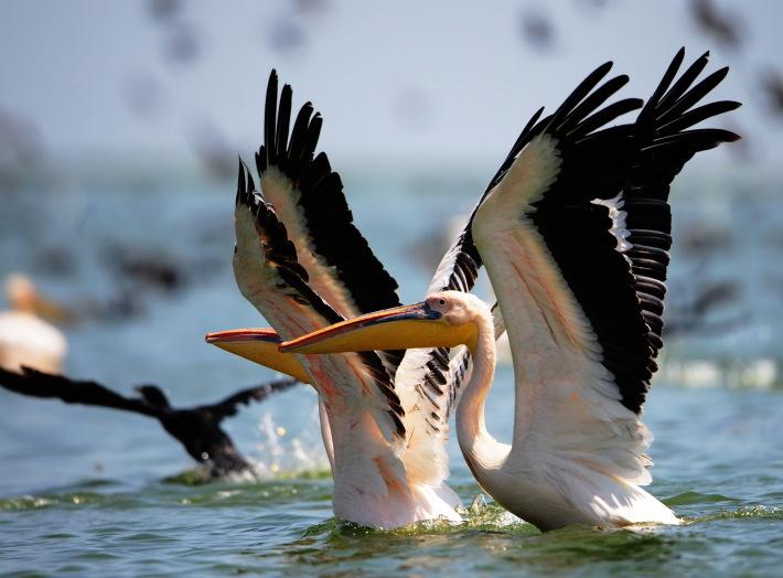 Pelicani, Foto: peterlengyel.wordpress.com