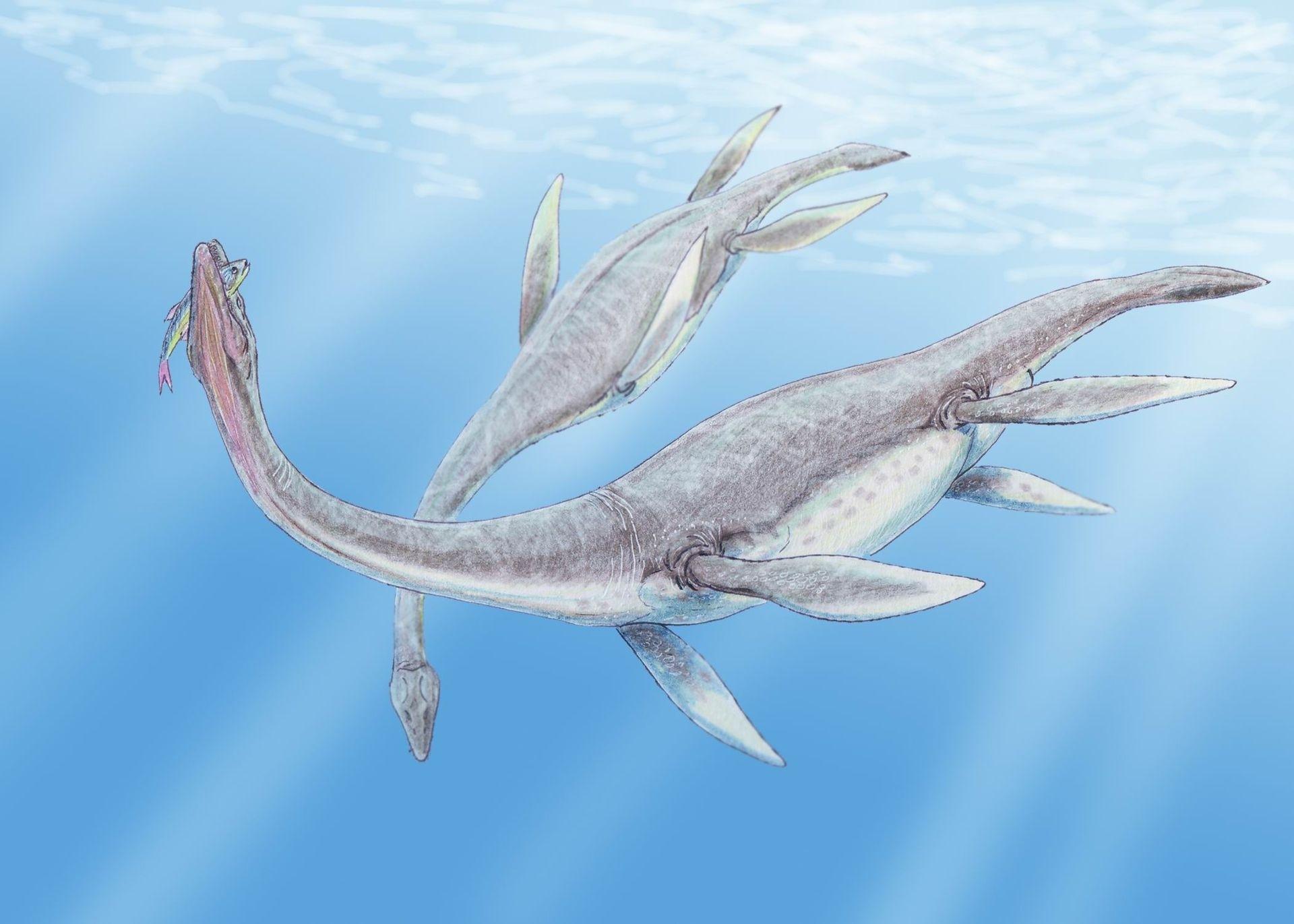 Plesiozaur, Foto fossilera.com