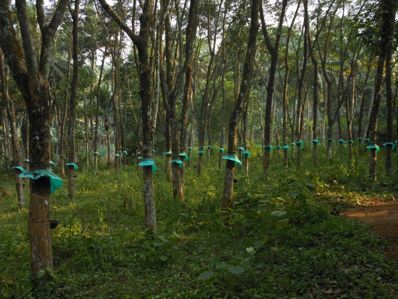 Copacul plangacios, Foto: rkalakoti.wordpress.com