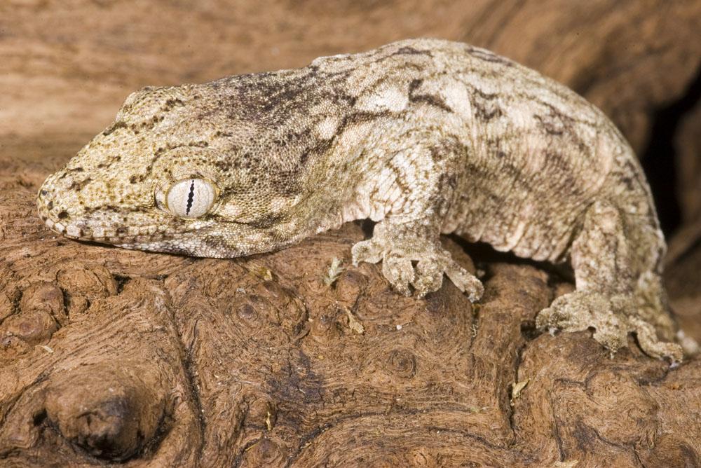 Rhacodactylus leachianus, Foto: dutchgeckos.weebly.com
