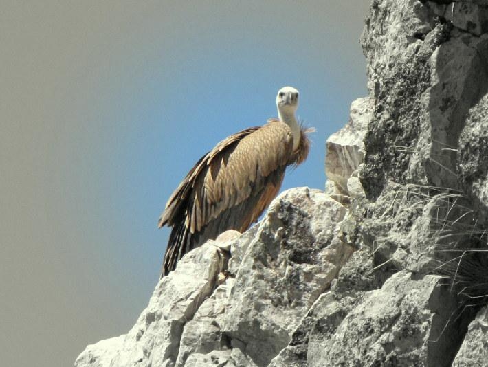 Vulturul plesuv, Foto: koalazf.wordpress.com